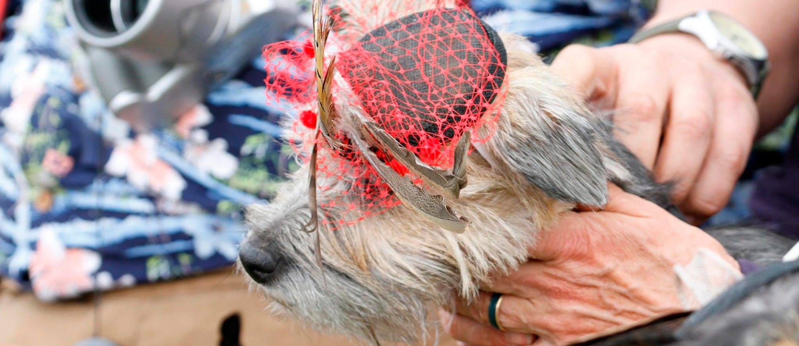 Dog wearing a black hat with red veil