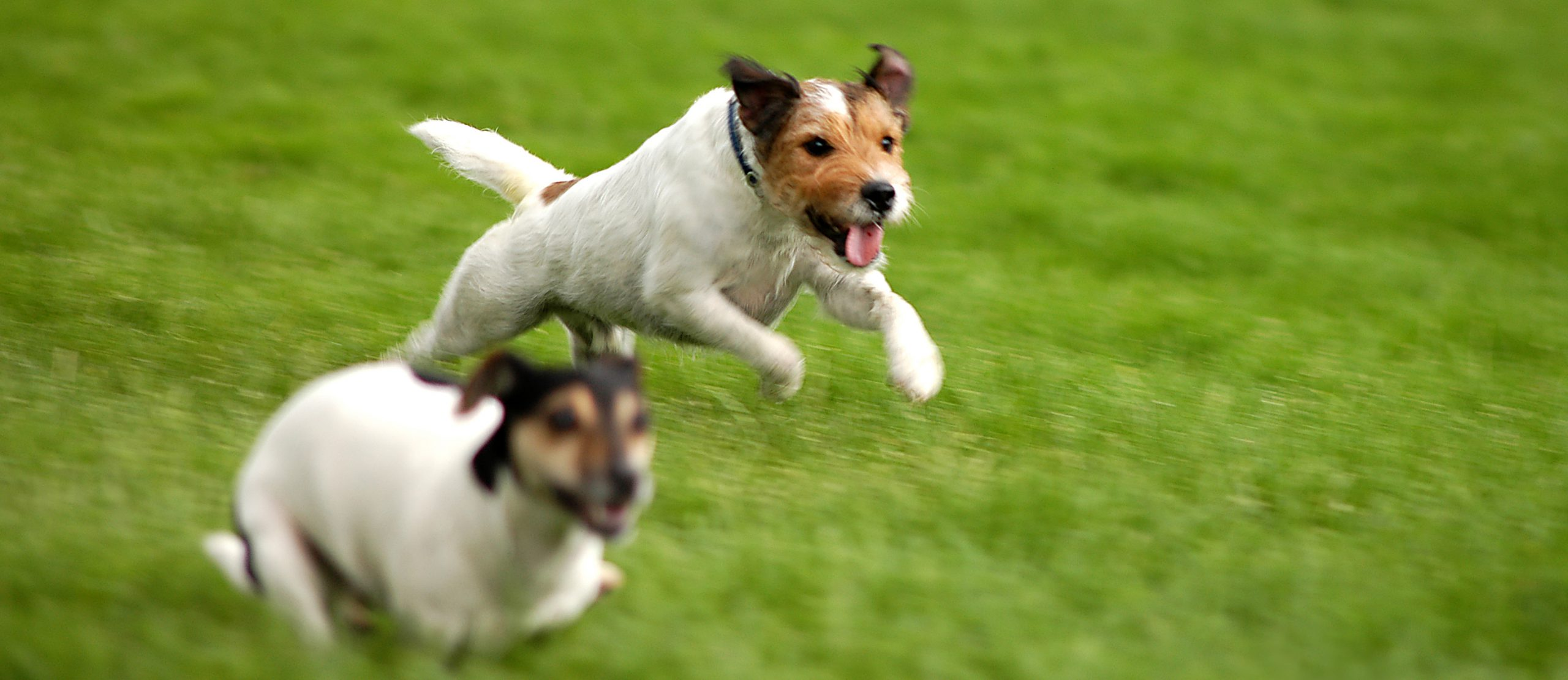 Two Jack Russell Terriers running across a field