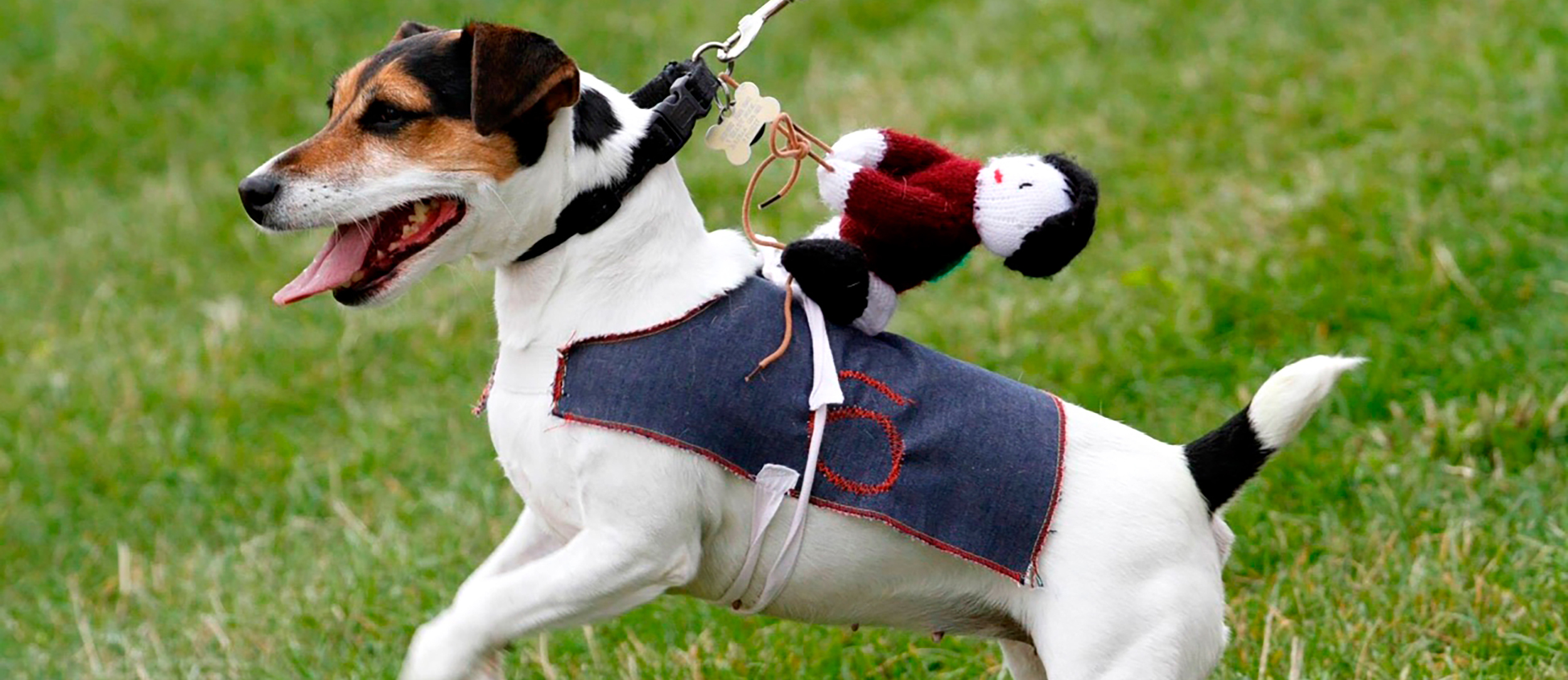 Jack Russell terrier with knitted jockey on his back
