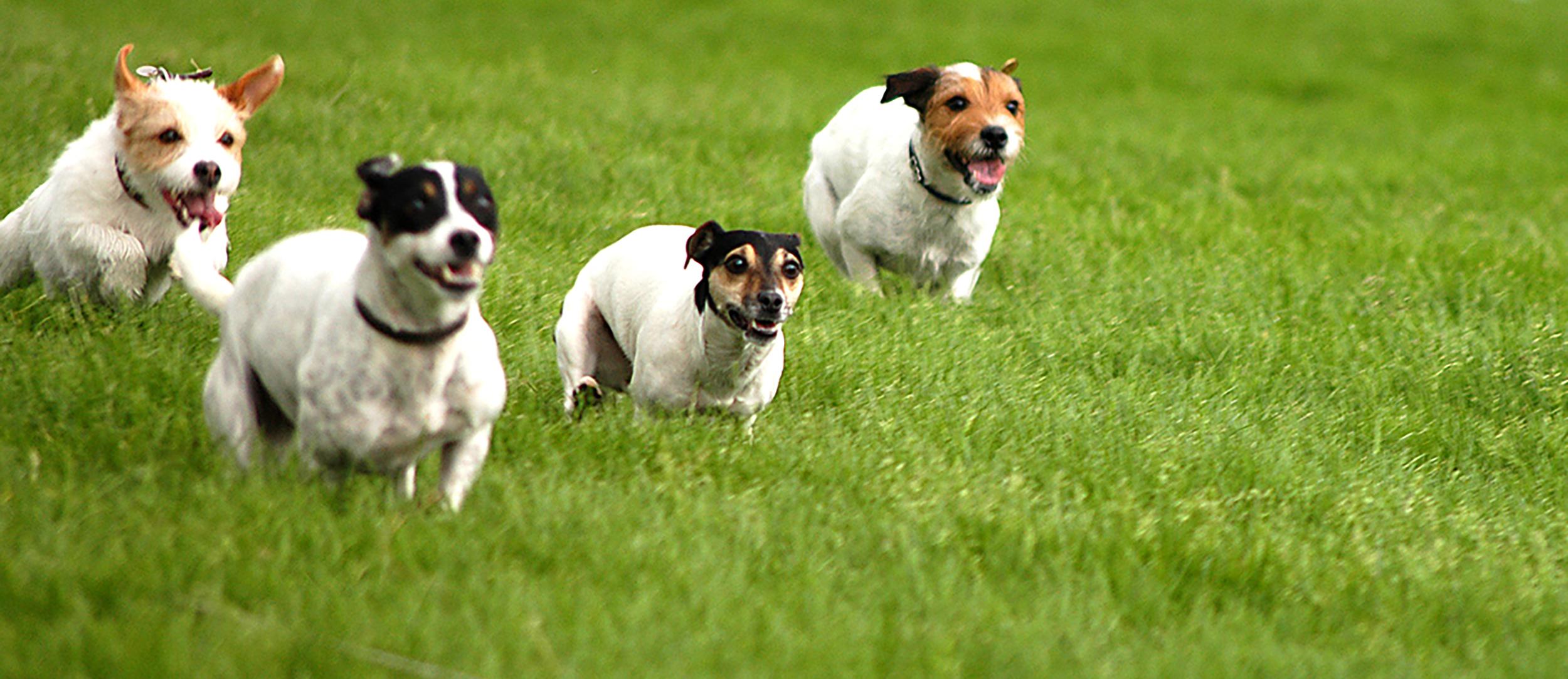 Four Terriers running across a field